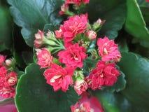 美丽的矮小的桃红色花 图库摄影