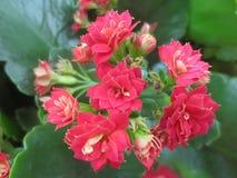 美丽的矮小的桃红色花 免版税库存照片
