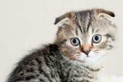 美丽的矮小的灰色小猫 免版税库存图片