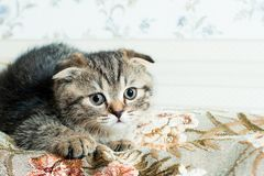美丽的矮小的灰色小猫 库存图片