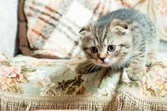 美丽的矮小的灰色小猫 库存照片