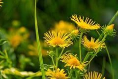 美丽的矮小的黄色雏菊 免版税库存图片