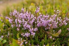 美丽的石南花在瑞士的山开花 免版税库存图片