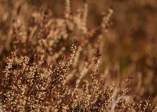 美丽的石南花从去年在一个自然生态环境 库存图片