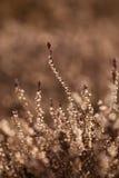 美丽的石南花从去年在一个自然生态环境 图库摄影