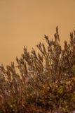 美丽的石南花从去年在一个自然生态环境 免版税库存图片