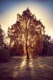 美丽的神秘的树 库存图片