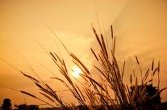 美丽的禾本科,草在日落期间的草甸 免版税库存图片