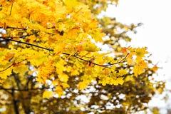 美丽的秋叶分支  免版税库存图片