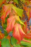 美丽的秋叶和莓果 库存图片