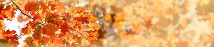 美丽的秋叶,树梢照亮与秋天阳光 免版税图库摄影