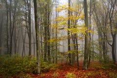 美丽的秋天树在一个有雾的森林里 免版税图库摄影