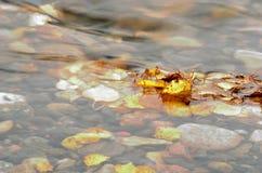美丽的秋天桦树叶子在冷的河潮流黏附了 免版税库存照片