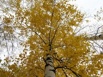 美丽的秋天桦树 免版税图库摄影