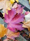 美丽的秋天森林,枫叶 免版税库存图片