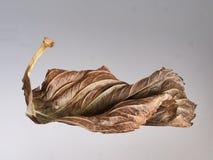 美丽的秋天褐色叶子,被隔绝在灰色梯度 库存图片