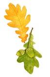 美丽的秋天水彩橡木在白色背景离开 设计的秋天元素 免版税图库摄影