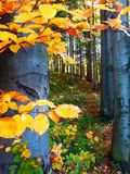美丽的秋季山毛榉森林 免版税库存照片