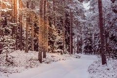 美丽的积雪的高大的树木在冬天森林里 免版税库存图片