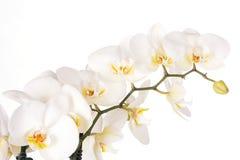 美丽的空白兰花花 免版税库存图片