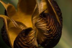 美丽的空的种子荚特写镜头 免版税图库摄影