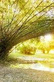 美丽的竹森林,与阳光的绿色自然背景 图库摄影