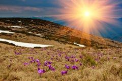 美丽的第一朵春天花 特写镜头开花的紫罗兰色番红花看法在山的 库存图片