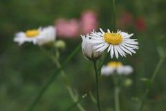 美丽的第一朵春天雏菊在围场开花 自然场面o 免版税库存照片
