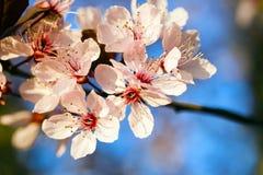 美丽的精美春天开花开花的树 免版税库存图片