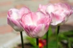 美丽的精美桃红色郁金香在一个晴朗的夏日 库存照片
