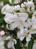 美丽的精美白花芽在春天 图库摄影