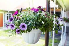美丽的紫罗兰色喇叭花花喇叭花hybrida在庭院软的焦点 库存图片