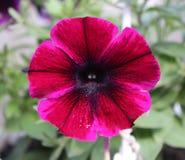 美丽的紫罗兰色喇叭花 免版税库存图片