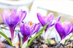 美丽的紫罗兰色番红花在庭院里 免版税库存照片