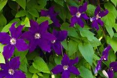 美丽的紫罗兰色铁线莲属特写镜头 开花在庭院里的铁线莲属 免版税库存照片