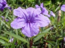 美丽的紫罗兰色Ruellia 库存照片