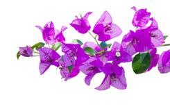 美丽的紫色九重葛花束 库存照片