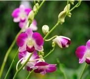 美丽的紫色兰花 免版税库存照片