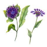 美丽的紫色在一个词根的osteospermum南非雏菊花与绿色叶子 背景查出的白色 库存照片