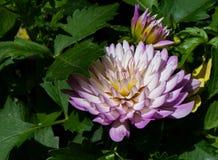 美丽的紫色大丽花花 免版税图库摄影