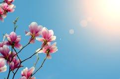 美丽的紫色木兰开花在春季的开花在树有蓝天背景和阳光光芒特写镜头 免版税库存照片