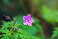 美丽的紫色狂放的森林花 大竺葵robertianum,一般叫作草本罗伯特 免版税库存照片