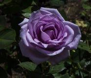 美丽的紫色玫瑰花 免版税库存图片