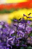 美丽的紫色花在阳光下,清莱,泰国 免版税库存照片