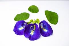 美丽的紫色花,关闭蝴蝶在白色背景的豌豆花 免版税库存图片