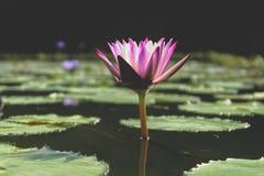 美丽的紫色莲花一朵花在有它的叶子的一个盐水湖在水 免版税图库摄影