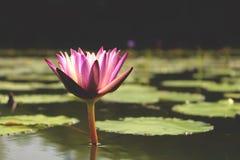 美丽的紫色莲花一朵花在有它的叶子的一个盐水湖在水 免版税库存照片