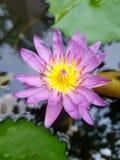 美丽的紫色莲花在庭院里 库存图片