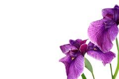 美丽的紫色虹膜 免版税库存图片