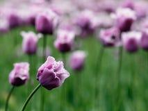 美丽的紫色郁金香 免版税库存照片